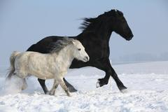 Black horse and white pony running together Stock Photos