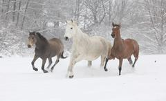 batch of horses running in winter - stock photo