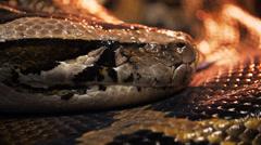 Burmese python Stock Footage