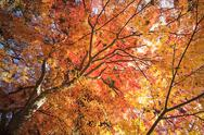 Stock Photo of Beautiful maple tree