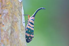 Lanternflies insect Stock Photos