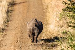 Rhino Walking Dirt Road Wildlife - stock photo