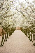 avenue with blossom apple trees - stock photo