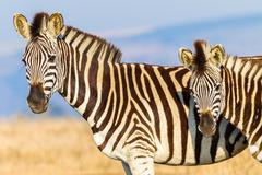 Zebra's Calf Morning Colors - stock photo