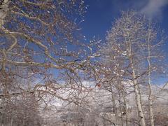 Bare winter aspens against a blue sky Stock Photos