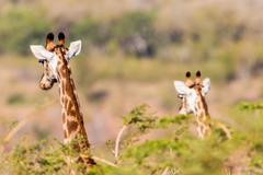 Giraffes Alert Watching Wildlife - stock photo