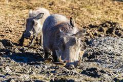 Warthogs Water Hole Ox-Pecker Birds Stock Photos