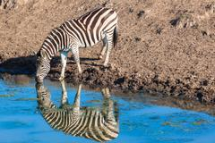 Zebra Animal Water Mirror Reflections - stock photo