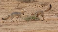 Cape fox 2 Stock Footage