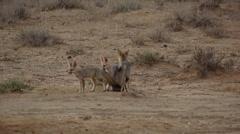 Cape fox 4 Stock Footage