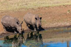 Rhino's Mirror Water Reflections - stock photo
