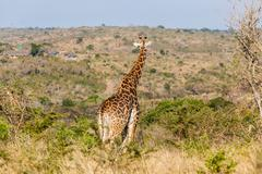 Giraffe Wildlife Alert Look - stock photo