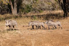Warthog's Young Litter Animals Wildlife Stock Photos
