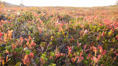 Arctic vegetation 1, dollyshot Stock Footage