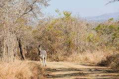 Zebra Dirt Road Wildlife Wilderness - stock photo
