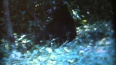 Vintage  movies,wild black bear Stock Footage