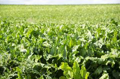 a field of sugar beet plants - stock photo