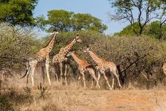 giraffe family calf's wildlife - stock photo