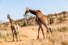 Bull Giraffe Mating Season wildlife - stock photo