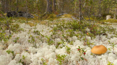 Arctic flora 7, dollyshot Stock Footage