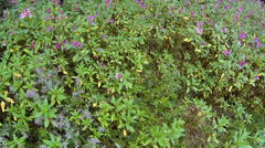 Indian balsam, impatiens glandulifera Stock Footage