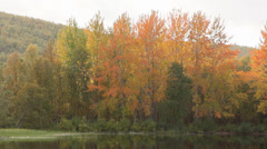 Autumn colored aspen 2 Stock Footage
