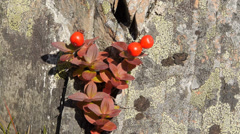 Red berry on rock 1 Stock Footage