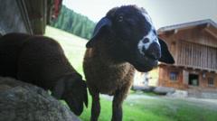 Closeup lamb face Stock Footage