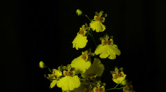 Yellow orchid top Stock Footage