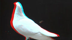 White Pigeon close up 3D - stock footage