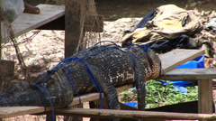 captive crocodile Amazon Rain Forrest - stock footage