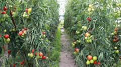 Organic tomatoes in the ecological greenhouse. Stock Footage