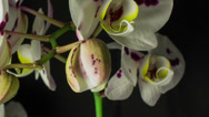 Stock Video Footage of orchid purple spots C