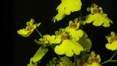 Yellow orchid 3 Stock Footage