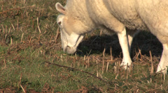 Lone Sheep Eating 2 Stock Footage