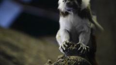 Tamarin - saguinus oedipus Stock Footage