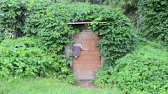 Rural wooden basement door with lock covered with creepers Stock Footage