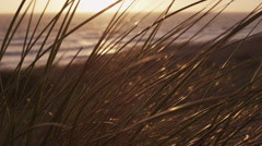 Marram grass sways in the wind Stock Footage