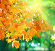 Stock Photo of autumn maple trees in park and sunshine