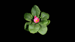 Flowering pink primula on the black background (Primula vulgaris. Bright pink) Stock Footage