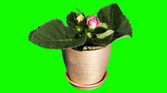 Growth of Gloxinia flower buds green screen, FULL HD  Stock Footage