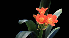 Growth of Clivia flower buds ALPHA matte, FULL HD Stock Footage