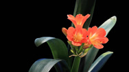 Stock Video Footage of Growth of Clivia flower buds ALPHA matte, FULL HD