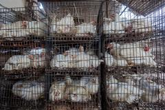 Stock Photo of Abattoir Poultry Chickens