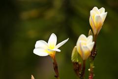Frangipani,plumeria flowers Stock Photos