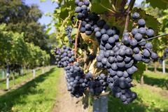 Bunches of blue grapes with path - stock photo