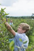 An organic fruit farm. A family picking the berry fruits from the bushes. Stock Photos