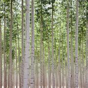 A poplar tree plantation near Pendleton in Umatilla county in Oregon. - stock photo