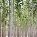 Stock Photo of A poplar tree plantation near Pendleton in Umatilla county in Oregon.