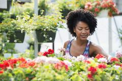A woman working amongst flowering plants. Red and white geraniums Stock Photos